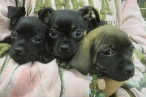 Adopt Bear On Pound Puppies Puppies Chihuahua Love