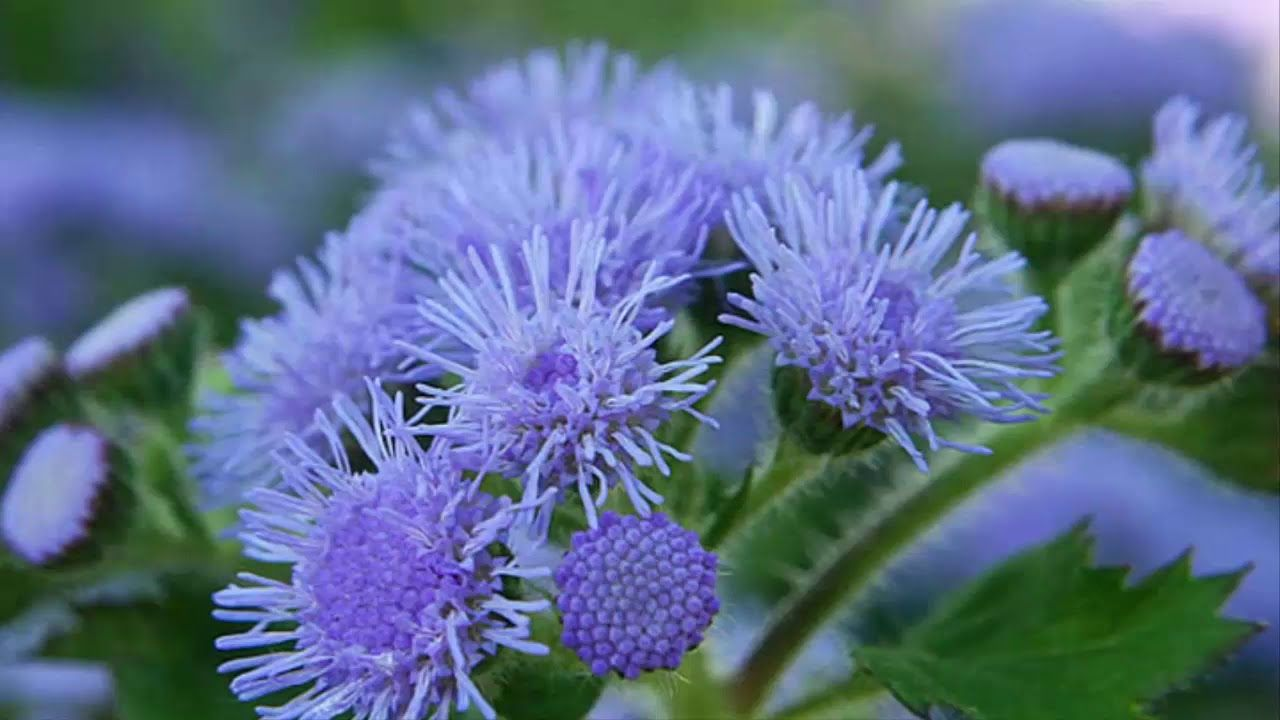 How To Plant And Care For Ageratum Flowers For Ornamental Plants For Beg In 2020 Ornamental Plants Plants Flowers