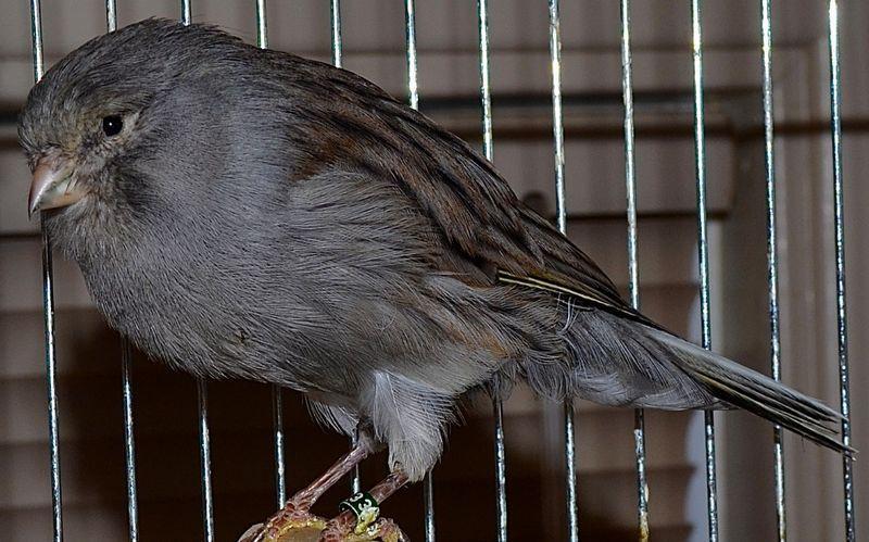 Pin Di Perbedaan Burung Kenari F1 F2 F3 F4 F5 F6 Af Afs Dan Ys