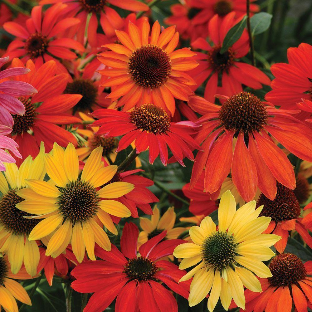 Echinacea Cheyenne Spirit Flowers Perennials Perennial Plants Flower Seeds