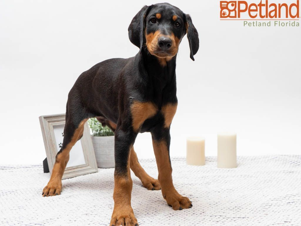 Puppies For Sale Doberman Pinscher Puppy Puppies Doberman Pinscher