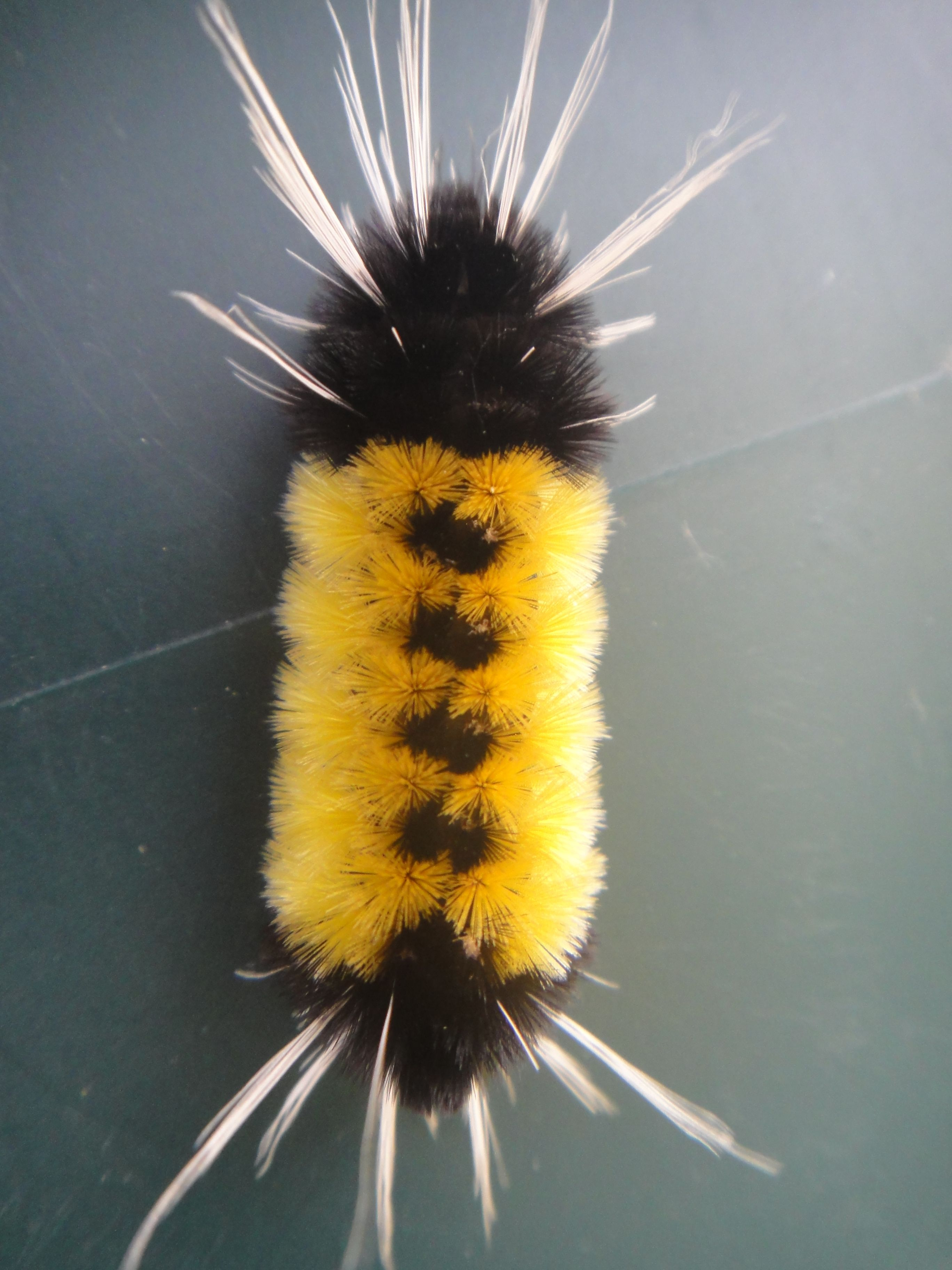 I Love Fuzzy Caterpillars And This Is One Of My Favorites Bugs And Insects Cool Insects Beautiful Bugs