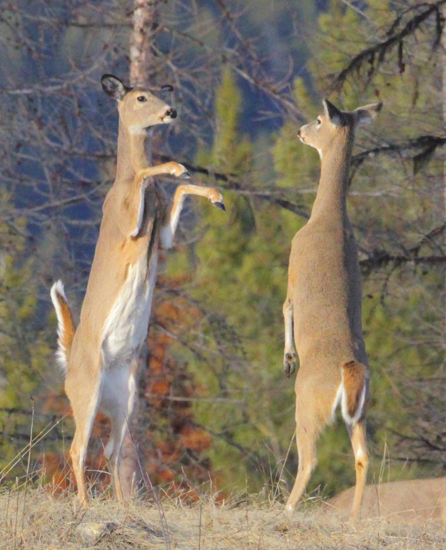 white tailed deer AR.jpg (1516×1870) | Cervidae | Pinterest