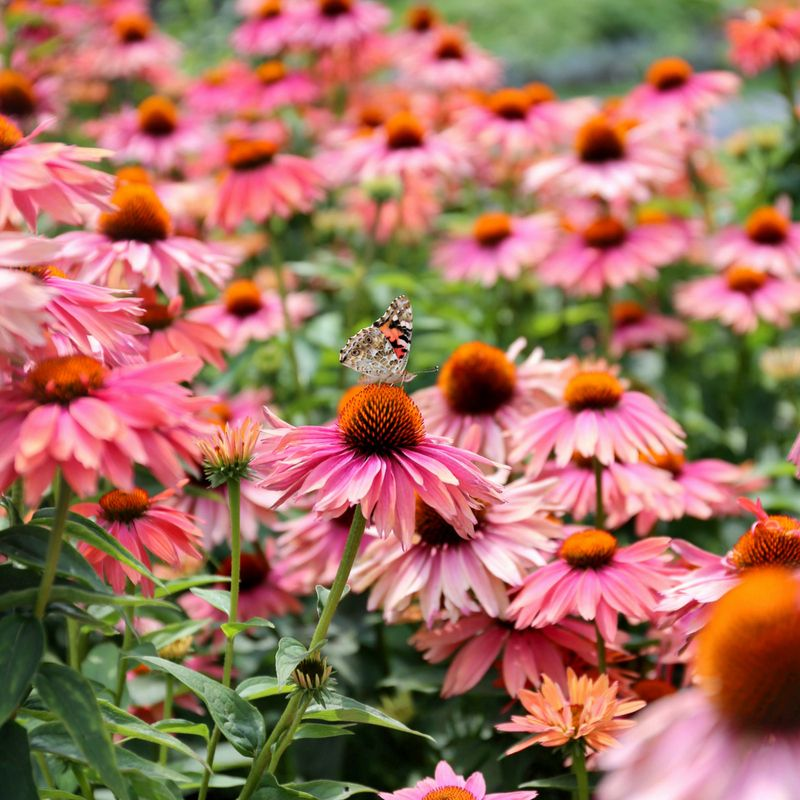 Coneflower Enjoy This Fabulous New Dessert Without Adding Any Calories Part Of The Cone Fections Series From Hybridizer Beautiful Flowers Plants Echinacea