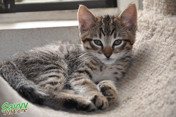 10 Famous Striped Cat Breeds In The World Of 2020 Gatos Atigrados Gatos Grises Gatos