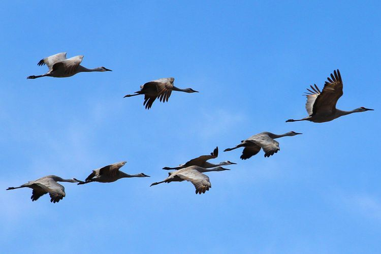 Exactly Why Do Birds Bother Migrating Bird Migration Why Do Birds Migratory Birds