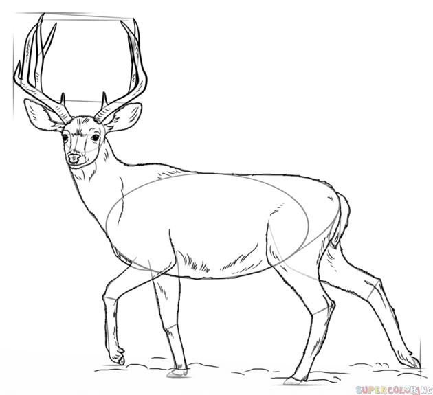 How To Draw A Mule Deer Step By Step Drawing Tutorials Deer Coloring Pages Deer Drawing Animal Drawings