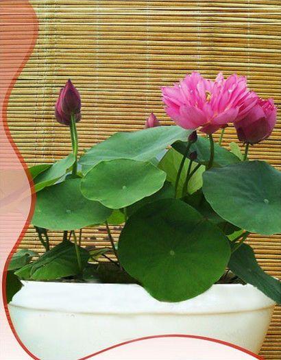Name Bowl lotus Size 20 seed bag Scope Courtyard garden