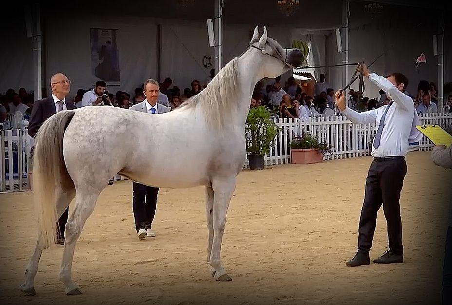 بطولة الأفراس منتون الدولية ٢٠١٨ الذهب عنود الناصر اشهال الريان X الياشا الناصر لمربط الناصر الفضة بنت هازي الخالدية Horses Arabian Horse Arabians