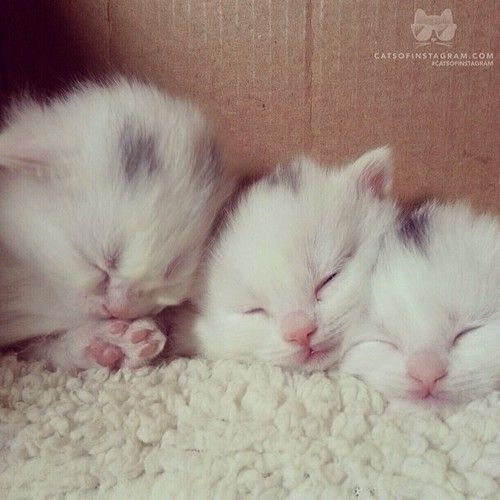 """From @bigskymunchkins: """"Hi there! We're Jingles, Jazzy, and Jubilee. Four week old munchkin babies who love to cause mischief until we collapse into a sleepy pile."""" #catsofinstagram [catsofinstagram.com] [source: http://ift.tt/1dGShuZ ]"""