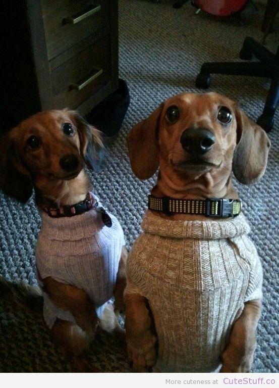 Dachshunds In Matching Sweaters Cutestuff Co Cute Animals