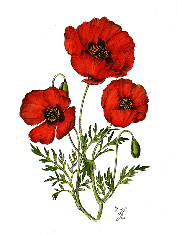 Red poppy flower drawing gallery phantasmagoria in 2018 red poppy flower drawing gallery mightylinksfo