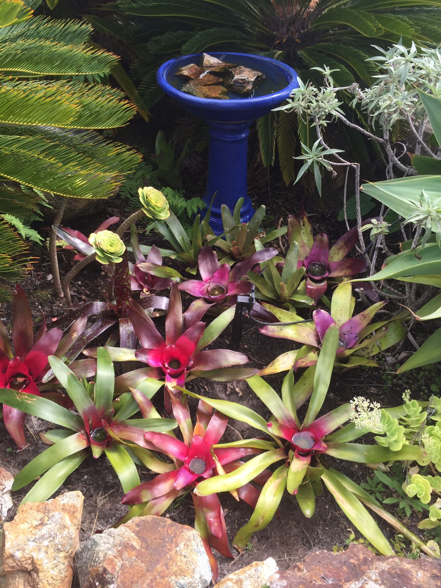 Bromeliad garden karikari peninsular nz bromeliads
