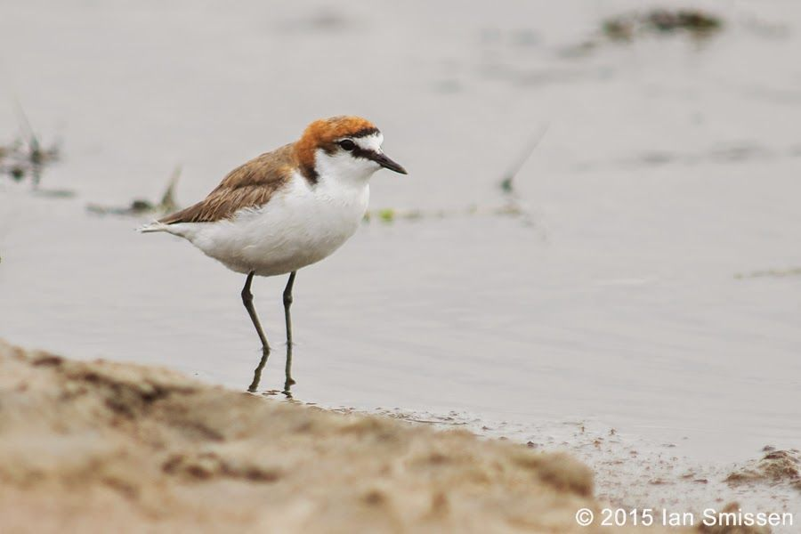 Red-capped Plover (male), Lake Tutchewop, Kerang Pentax K-3, Sigma 300mm f/2.8 (x2 adaptor), ISO 400, f/5.6 1/800