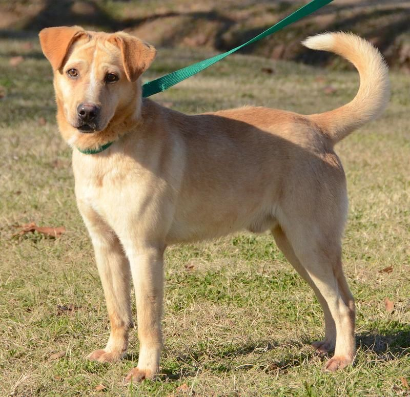 Bowie Is A Very Handsome Young Adult Neutered Male Lab Mix That Is
