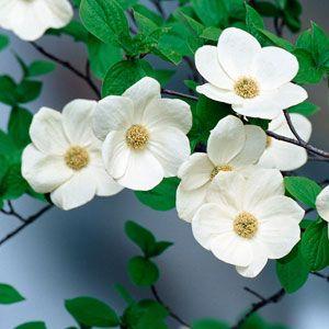 Flowering Dogwood Fragrance Oil My Favorite Fragrances For Soap