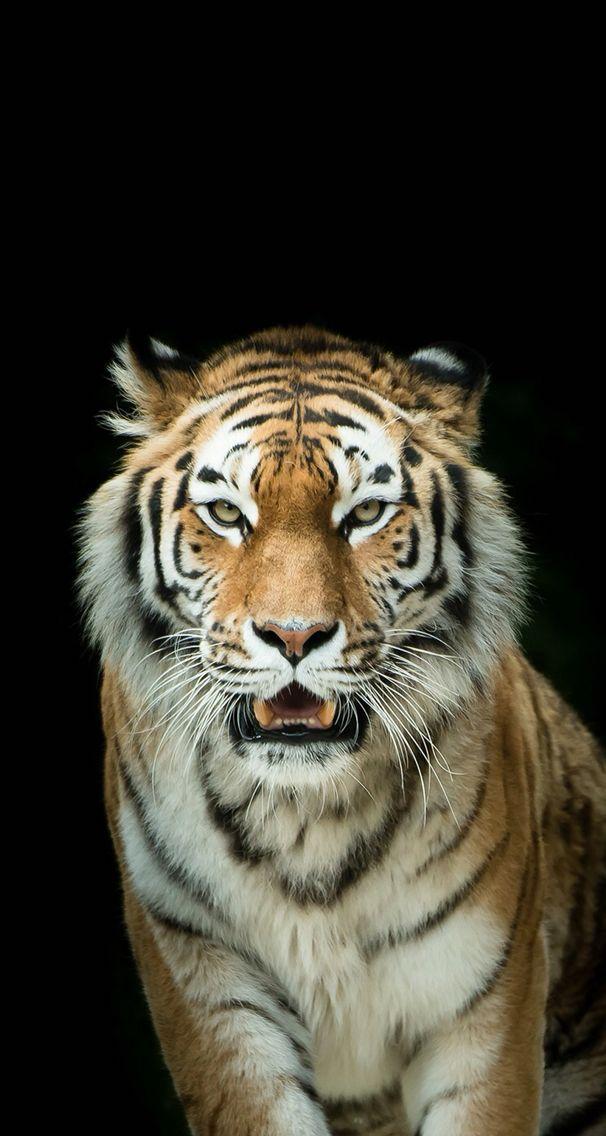 wallpaper iphone 3d tiger: The 25+ Best Tiger Wallpaper Iphone Ideas On Pinterest