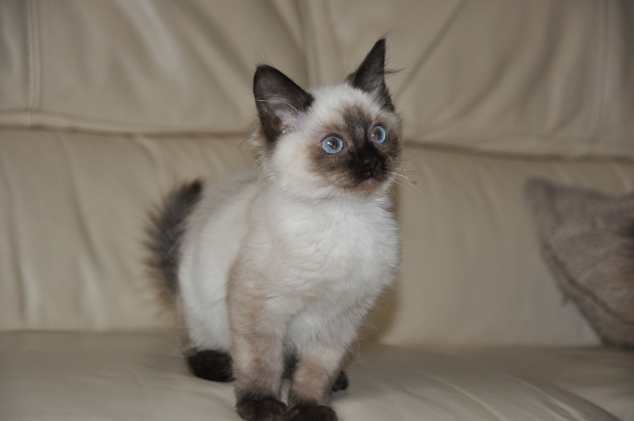 ragdoll cat images - Google Search | Ragdoll Cat | Pinterest ...