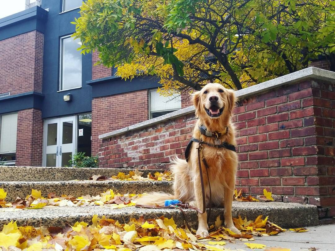 #dogsofinstagram #goldenretrievers #dogsofig #goldenretrieversofinstagram #puppy #servicedog #servicedogsofinstagram #respectthevest #servicedogteam #servicedogsofig #ilovegolden_retrievers #dogstagram by boomerlovin