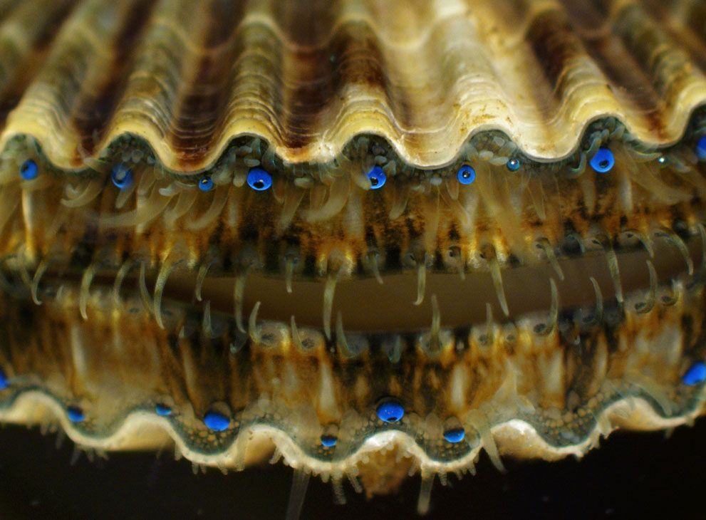 Image result for public domain picture bay scallop