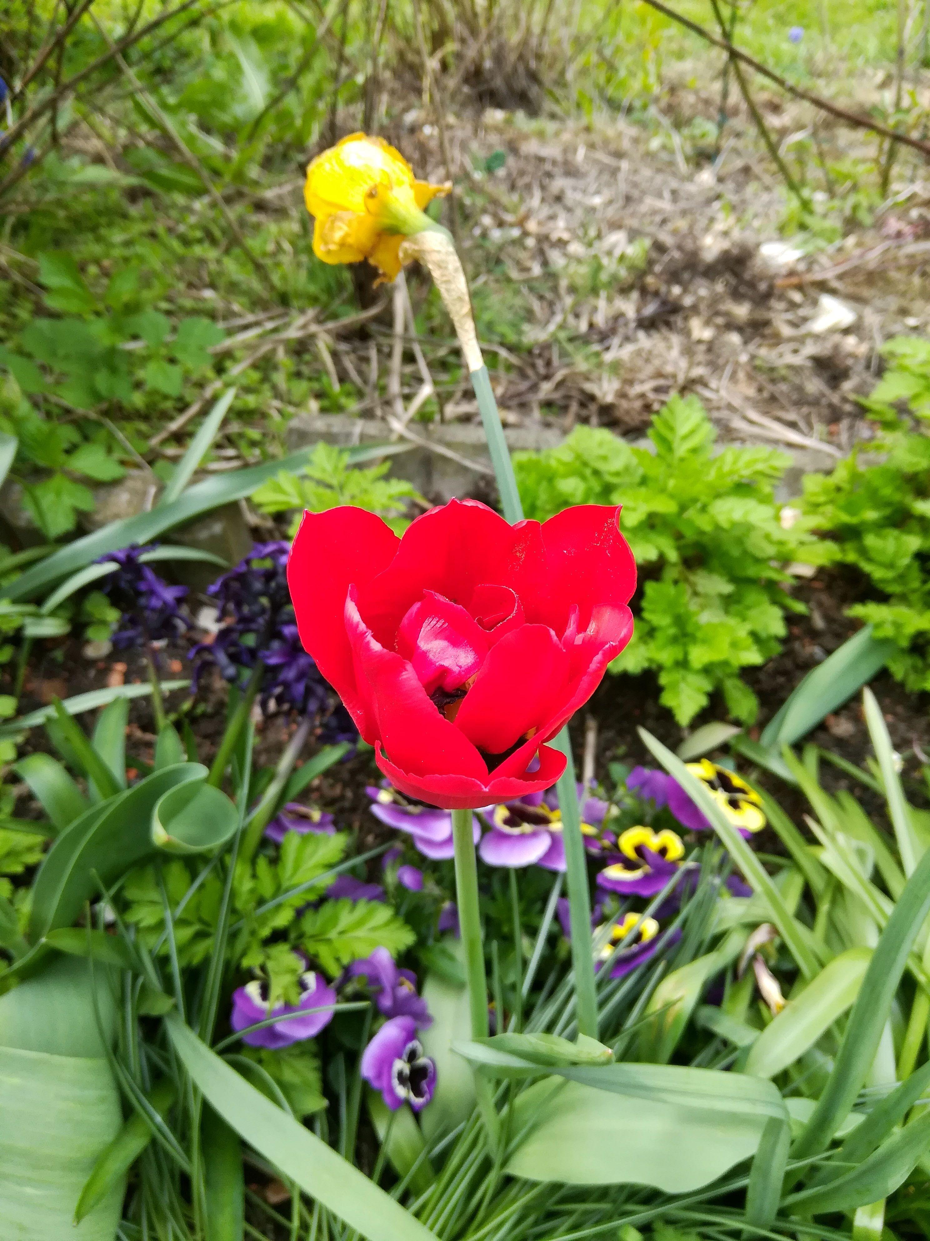 Etwas Rot mit Tulpen tut einfach jedem Garten gut
