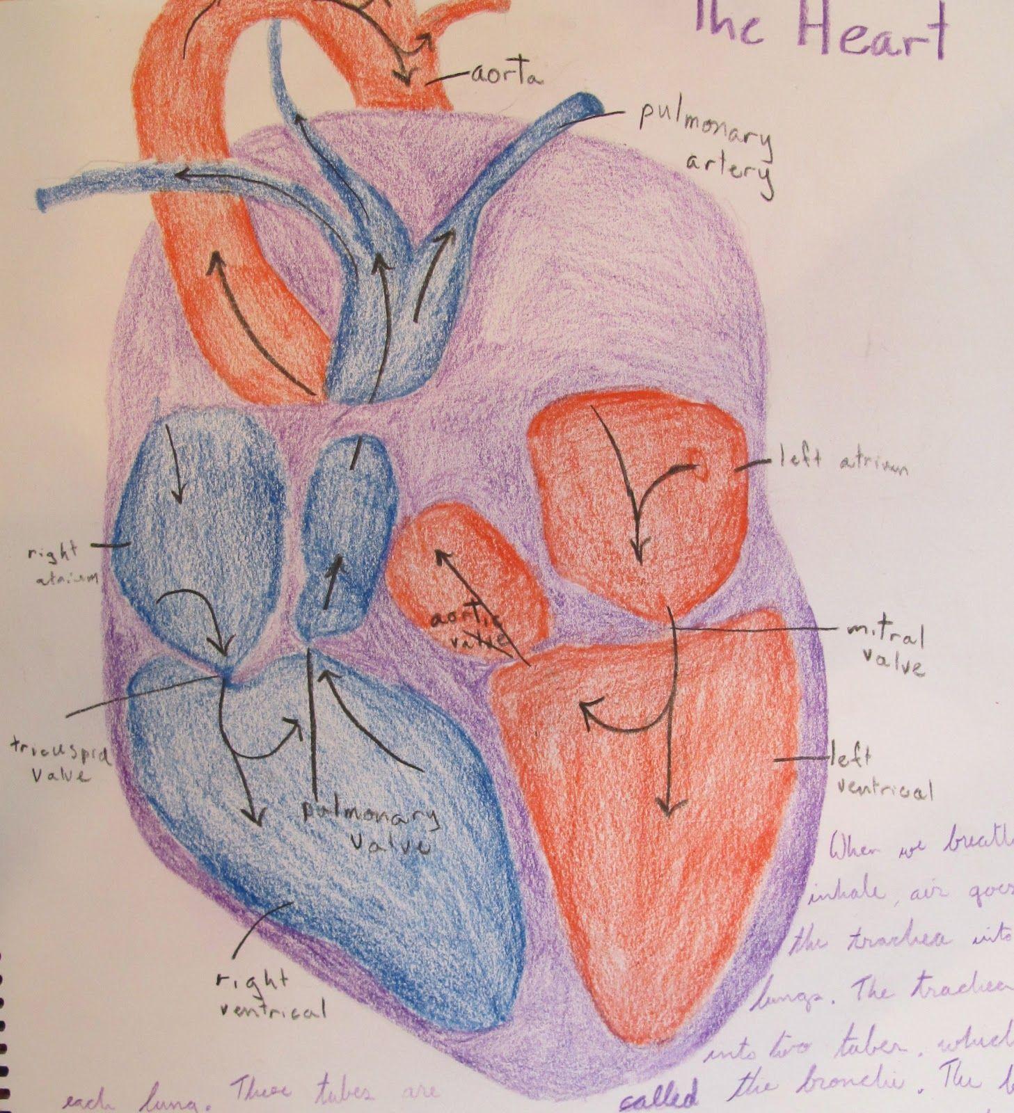 7th Grade Anatomy