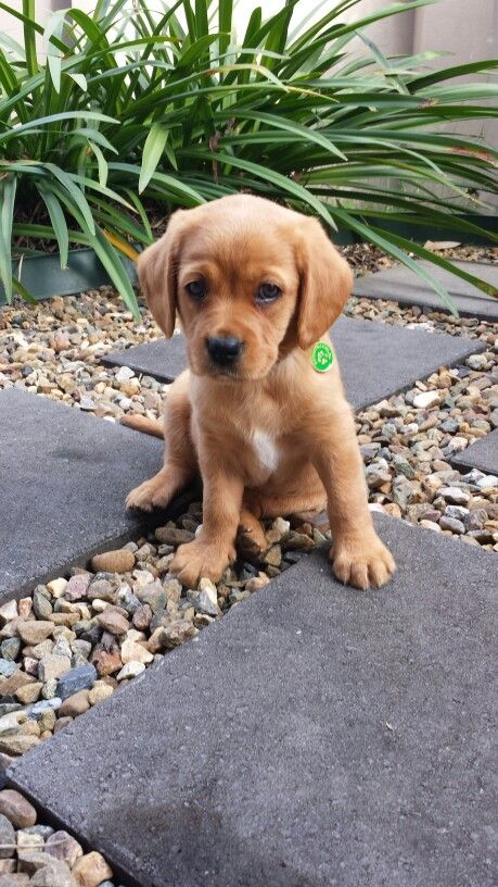 Meet Our New Office Dog Archie The Cavador Puppies Fox Red Labrador Red Lab Puppies