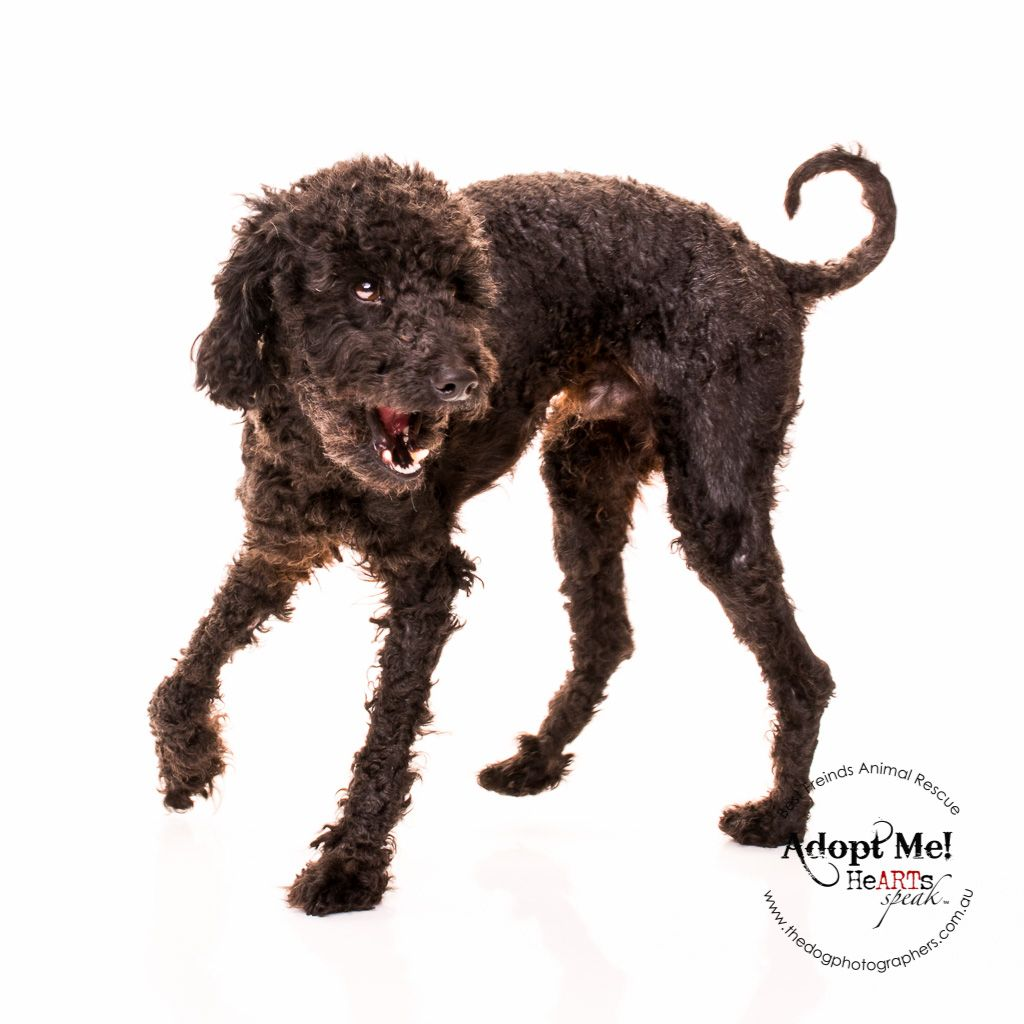 Duffy Poodle Http Thedogphotographers Com Au The Dog Photographers Perth Western With Images Dog Photograph Dog Photography Pet Photographer