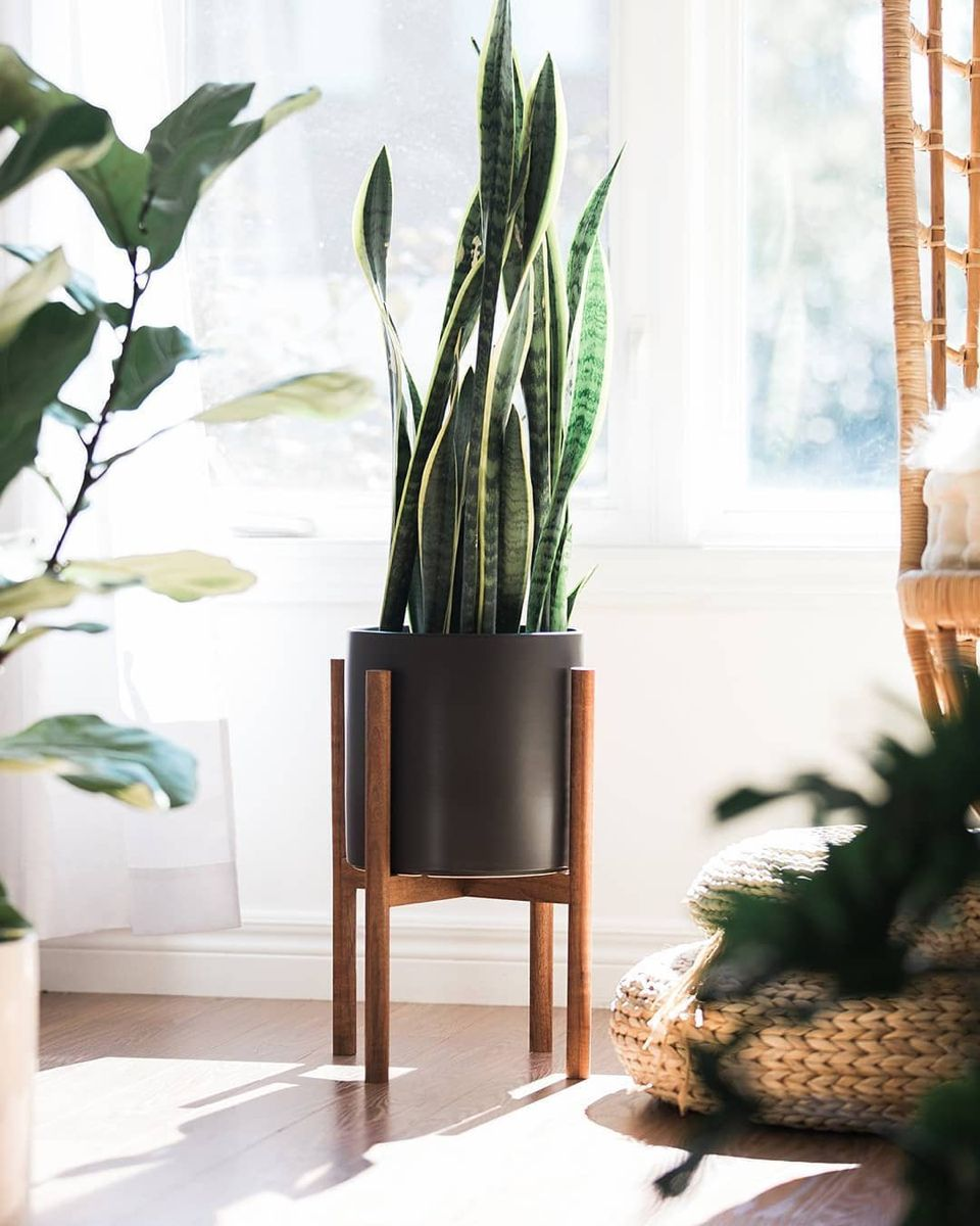 Everything You Need to Know About the Snake Plant