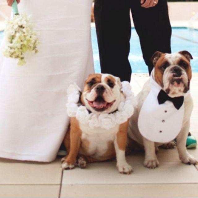 Our English Bulldogs In Wedding Photos Flower Collar For The Tuxedo Bib Boy