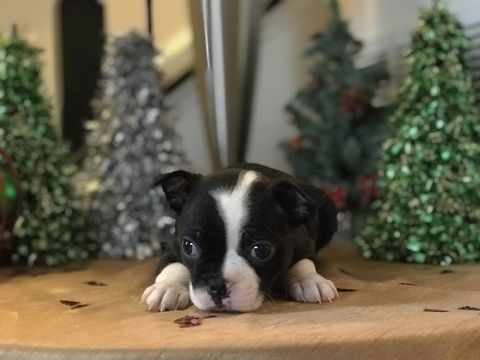 Litter of 6 Boston Terrier puppies for sale in ELLICOTT CITY, MD