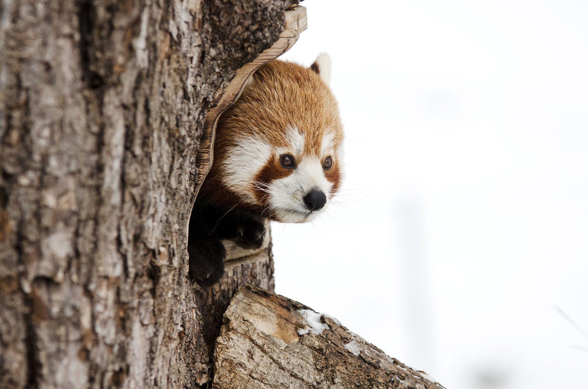 Is It Spring Yet Red Panda Animals Chinese Panda Wallpaper red panda trunk tree nature