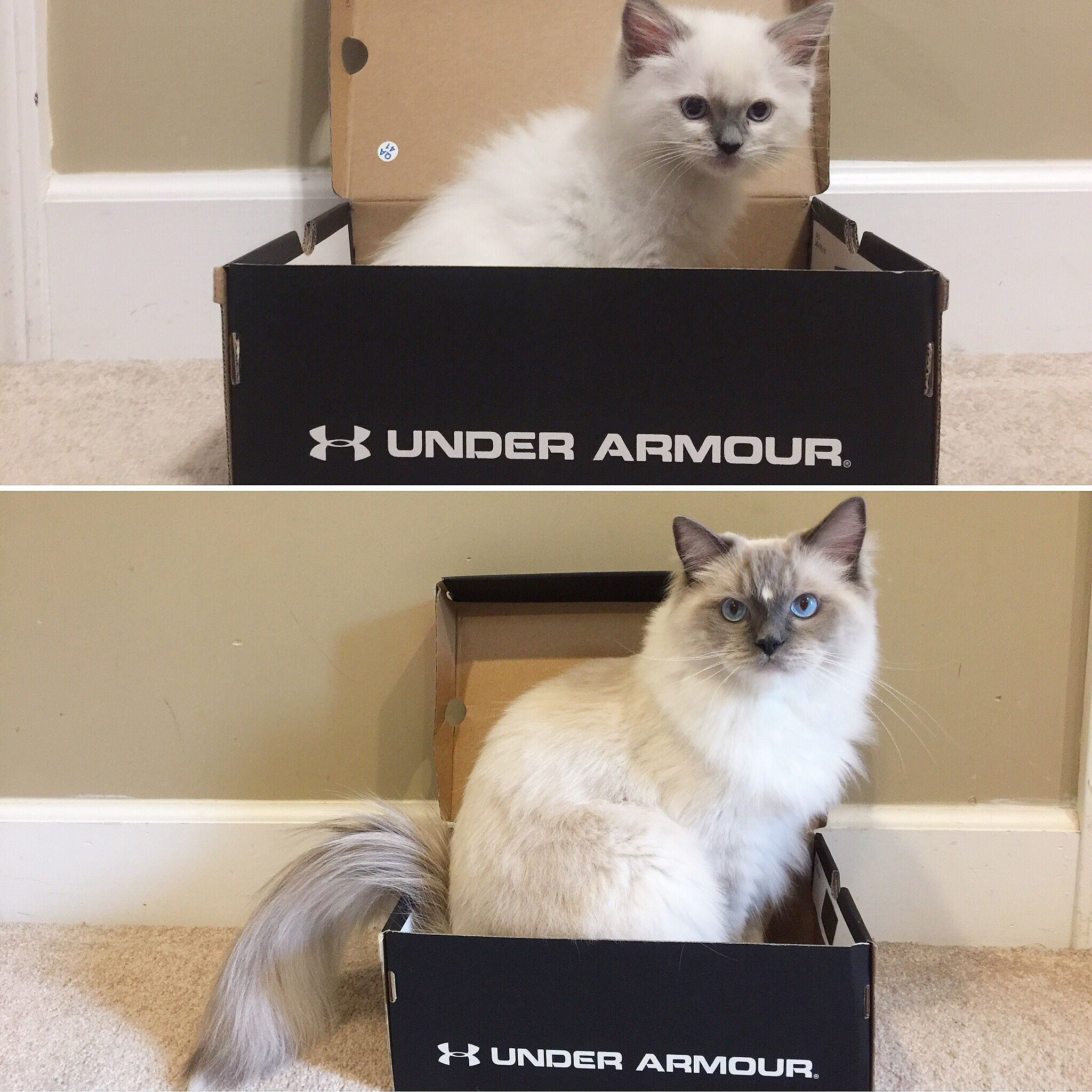 This Is How Armour Got His Name Ragdoll Cat Ragdoll Armour