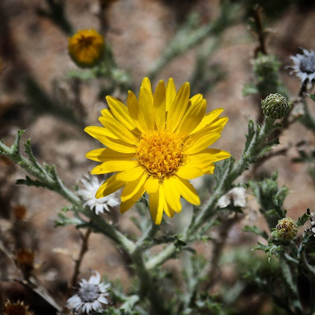 Yellow Desert Flower In New Mexico Cheapgeeks Amazing Photos