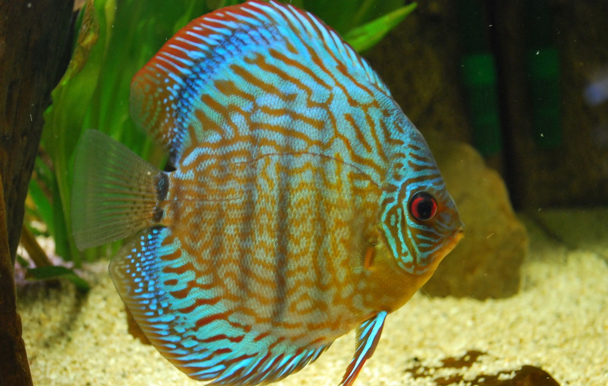 Discus Discus Fish Fish Care Discus Fish For Sale