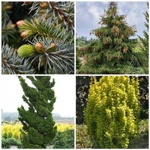 Favorite evergreens from iseli nursery woodstove mural for Cypress gardens mural