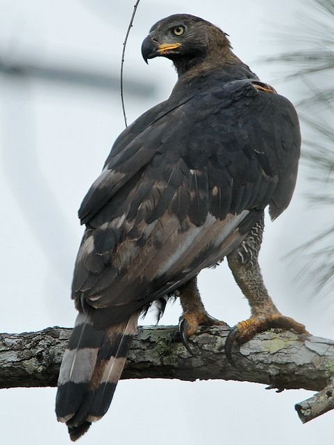 African Crowned Eagle | African crowned eagle, Eagle ...  |African Crowned Eagle Falconry