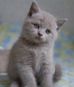 Fairies love kittens sooooo  much. This little British Blue Shorthair is cat perfection!