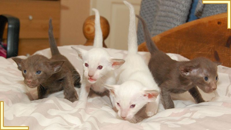 Siamese Kittens For Sale at Siamese kittens, Kittens