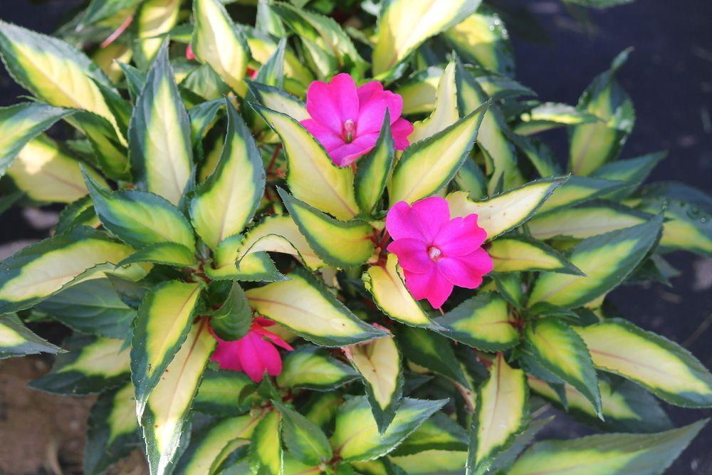 Impatiens SunPatiens® new compact Tropical Rose variegated
