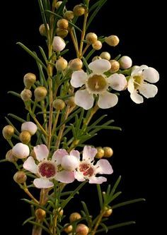 Geraldton Wax Flower By Tony Cave Australian Flowers Wax Flowers Australian Native Flowers