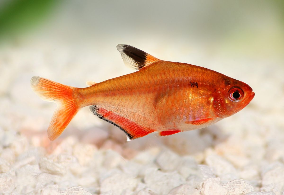 Serpae Tetra Fish Tetra Fish Fish Tetra