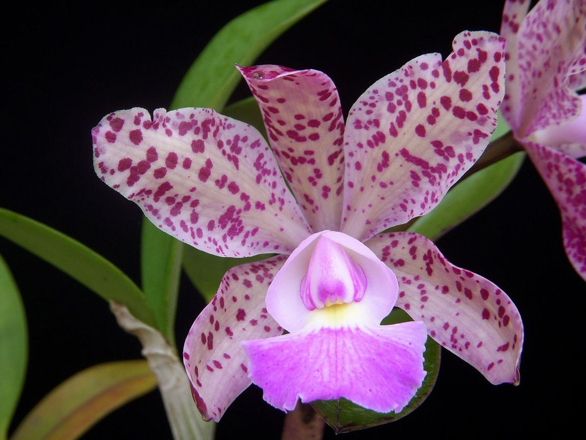 This Website Is Currently Unavailable Beautiful Orchids Orchids Cattleya Orchid