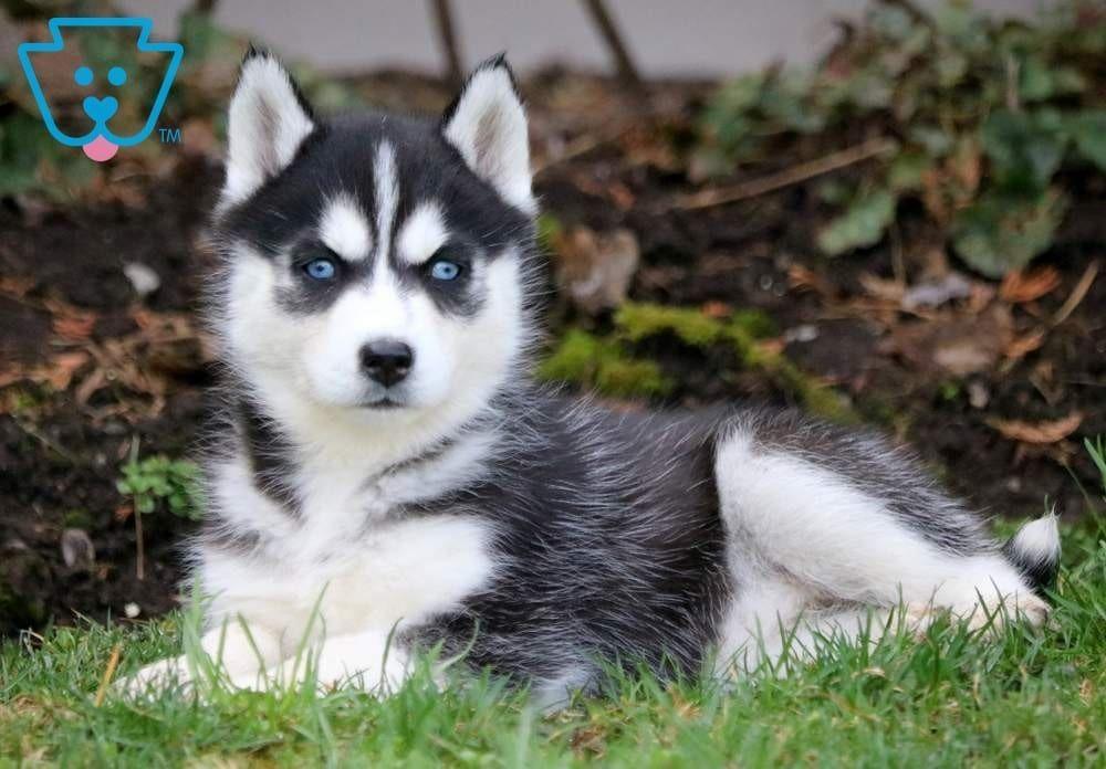Missy Siberian Husky Puppy For Sale Keystone Puppies Sibhusky