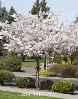 Mount Fuji Japanese Flowering Cherry Cherry Trees Garden Japanese Flowering Cherry Garden Trees