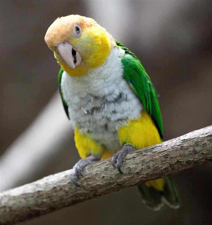 Caique Parrot   Caique Pictures Gallery   Caged Birds