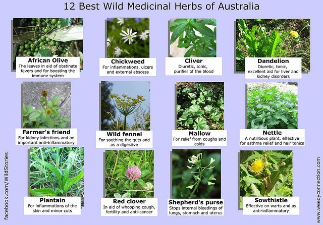 12 Best Medicinal Plants In Australia With Images Medicinal