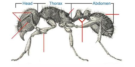 Anatomy of the ant