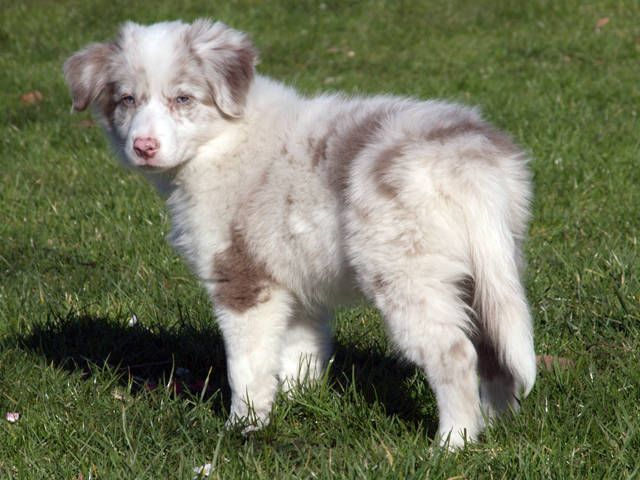 Border Aussie Australian Shepherd Border Collie Mix Boarder