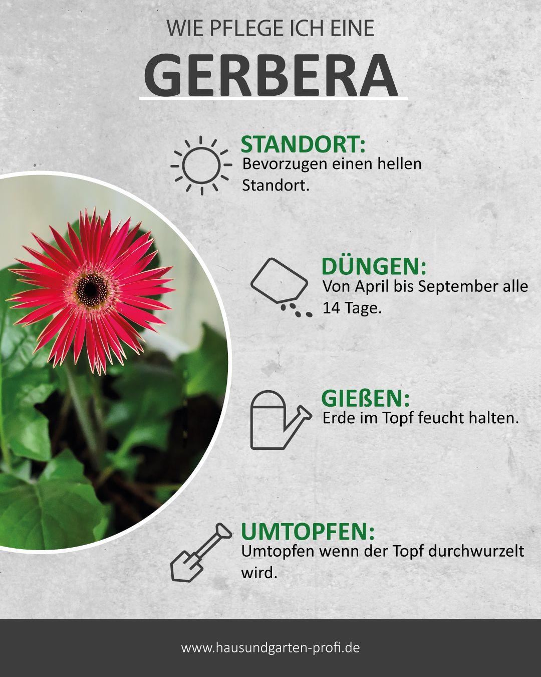 Die Pflegeleichte Gerbera Braucht Nur Wenig Wasser Garten Anpflanzen Pflanzen Pflege Gerbera